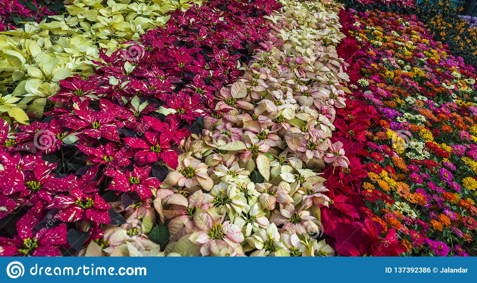 88bf4771499e All varieties of flowers   colours displayed by Rows Lalbagh flower show  begins in January 2019