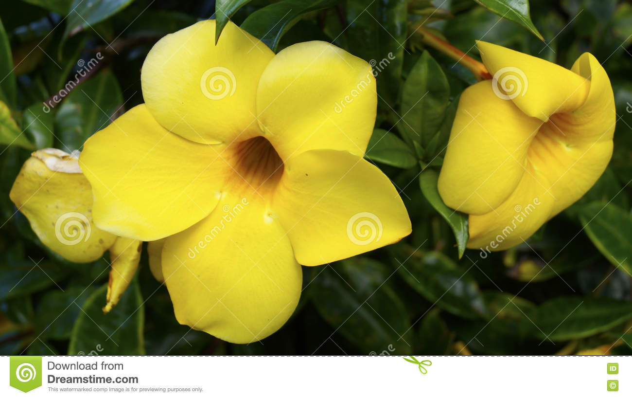 Allamanda cathartica mexican tropical flower stock image image of big yellow flowers growing in a tropical zone in mexico close up of two gright yellow decorative flowers mightylinksfo