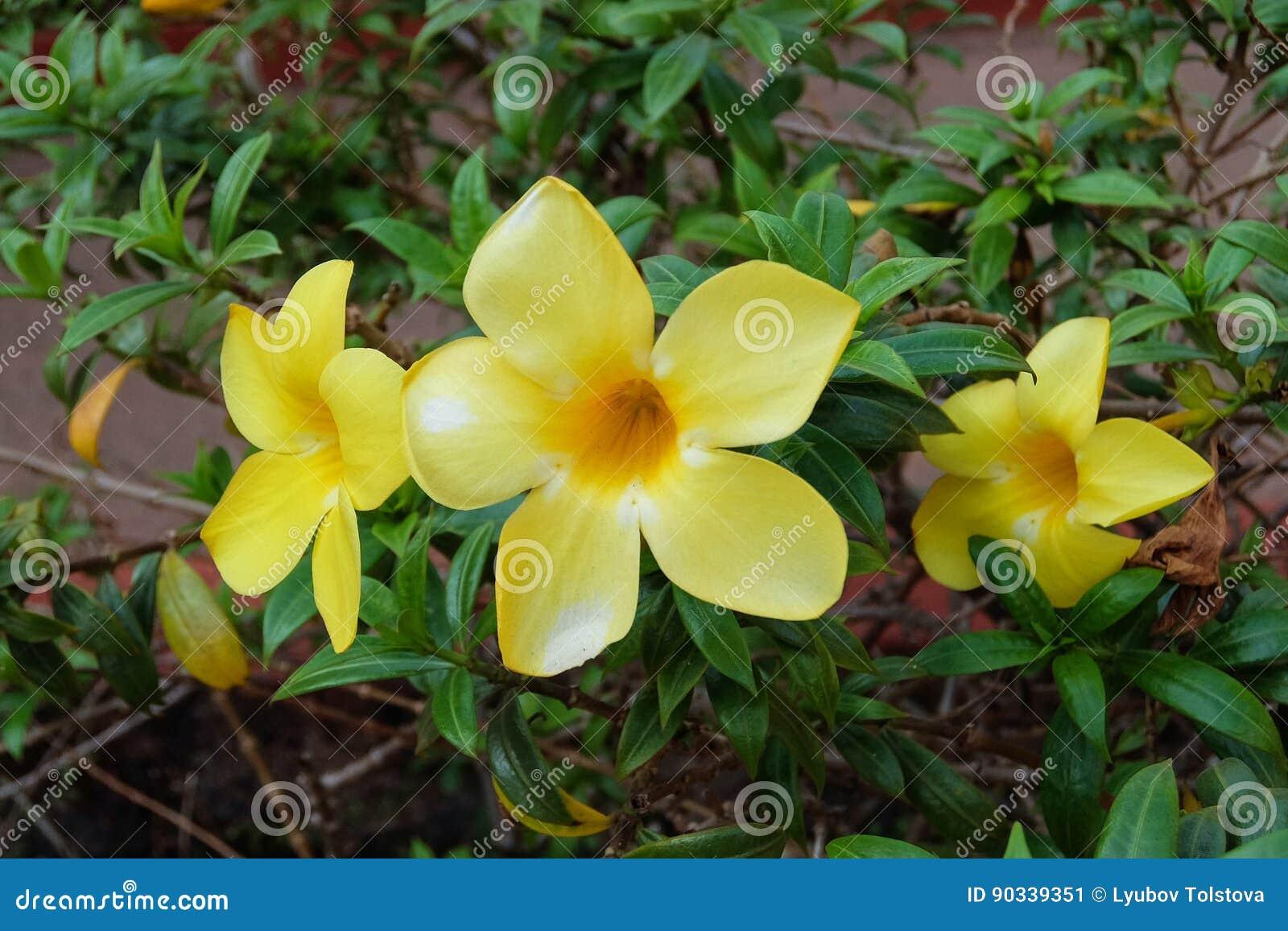 Allamanda Cathartica Yellow Bell Golden Trumpet Vine Stock Image