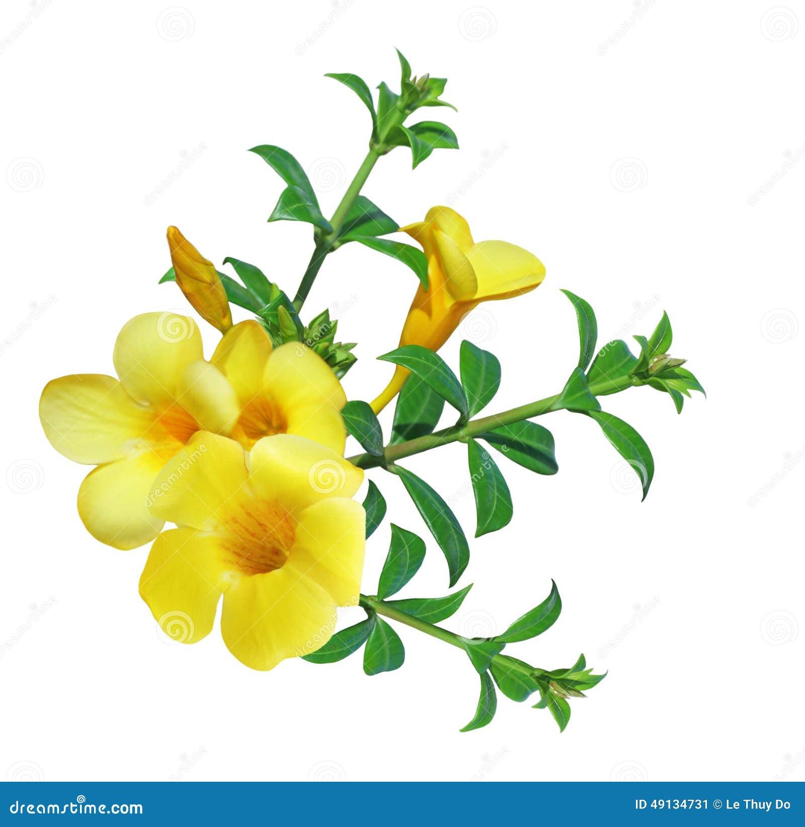 Allamanda Flower Stock Image Image Of Vietnam White 49134731
