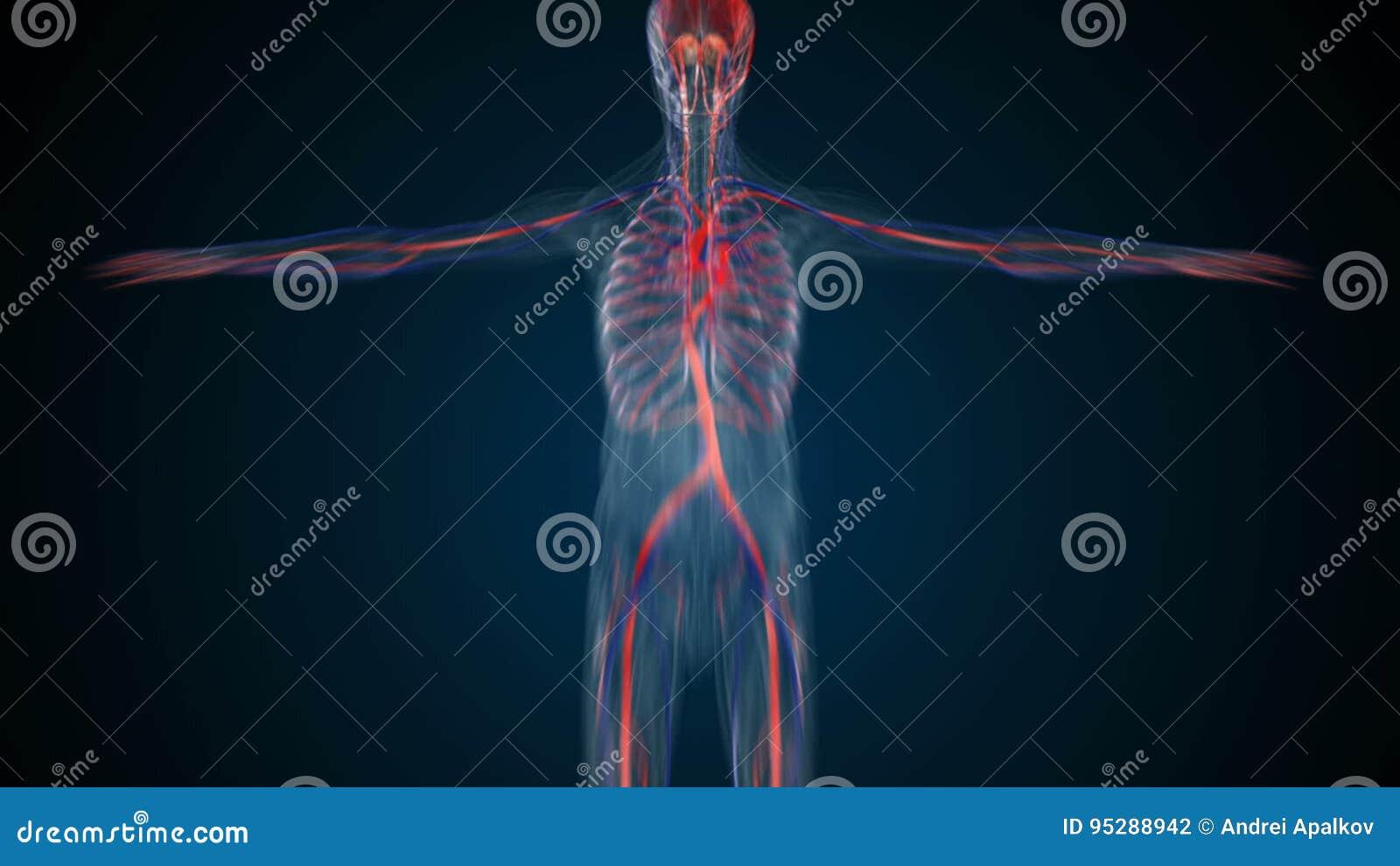 Schön Anatomie Systeme Des Menschlichen Körpers Fotos - Menschliche ...
