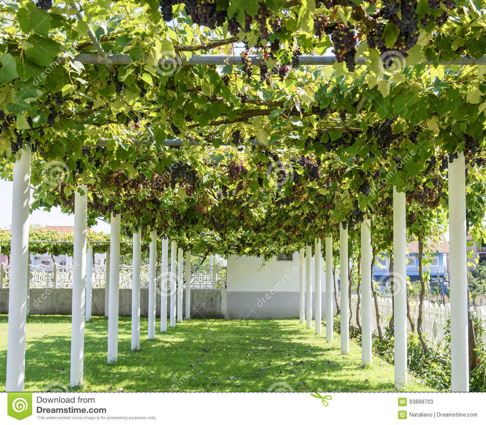 Alley With Grape Vine-covered Pergola Stock Photo - Image ...