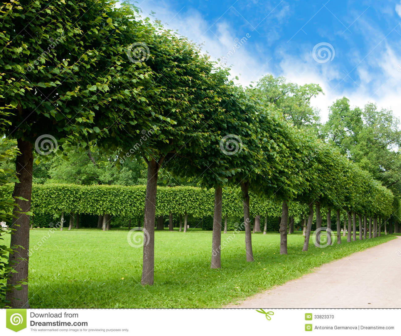 Alley Of Green Trees Trimmed Square Shape Stock Photo
