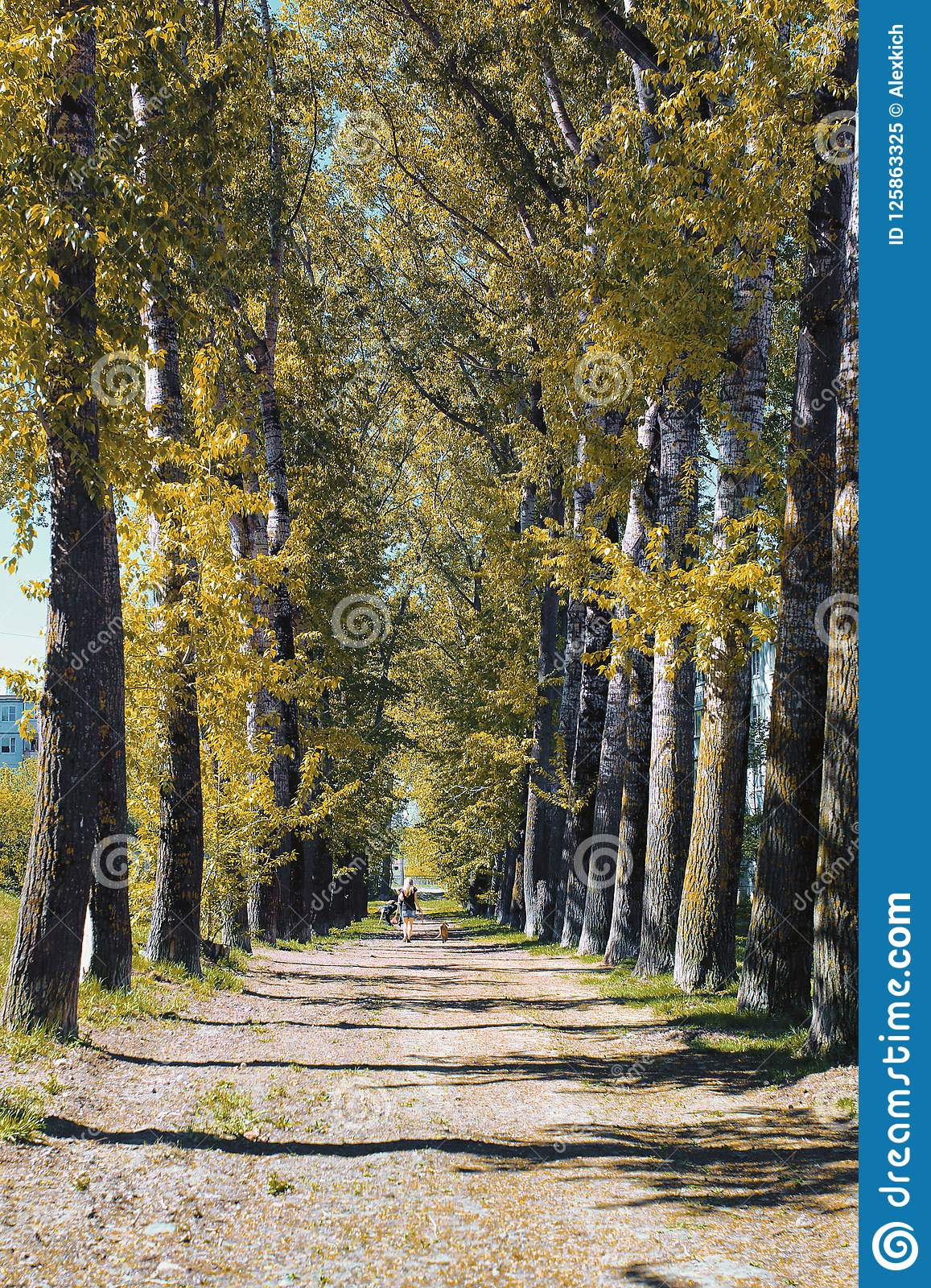 Alley of poplars with yellowing leaves in late summer