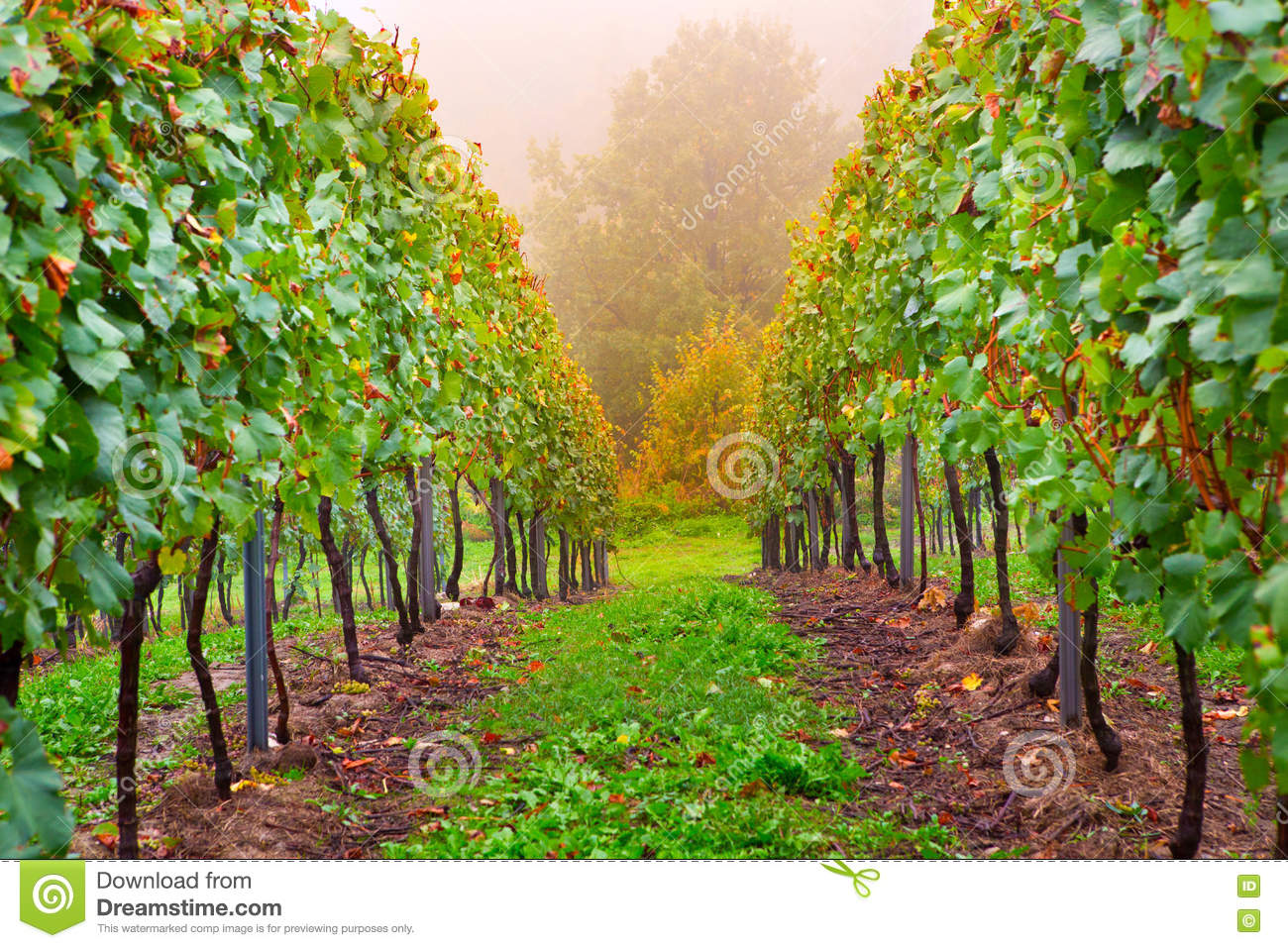 Small Backyard Vineyard alley in a small vineyard stock photo. image of vines - 81156044