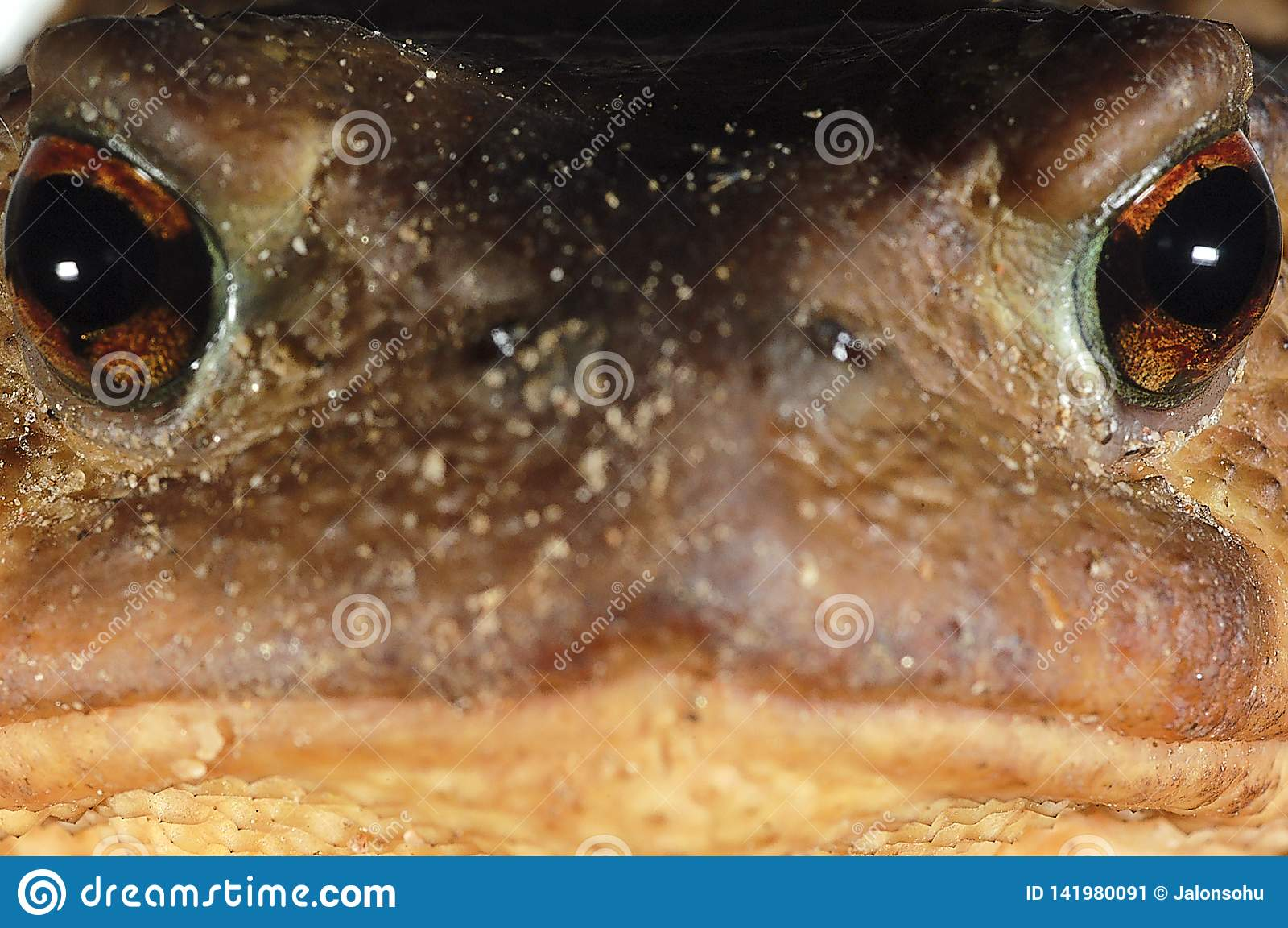 Allgemeines Kröte bufo bufo, Amphibie