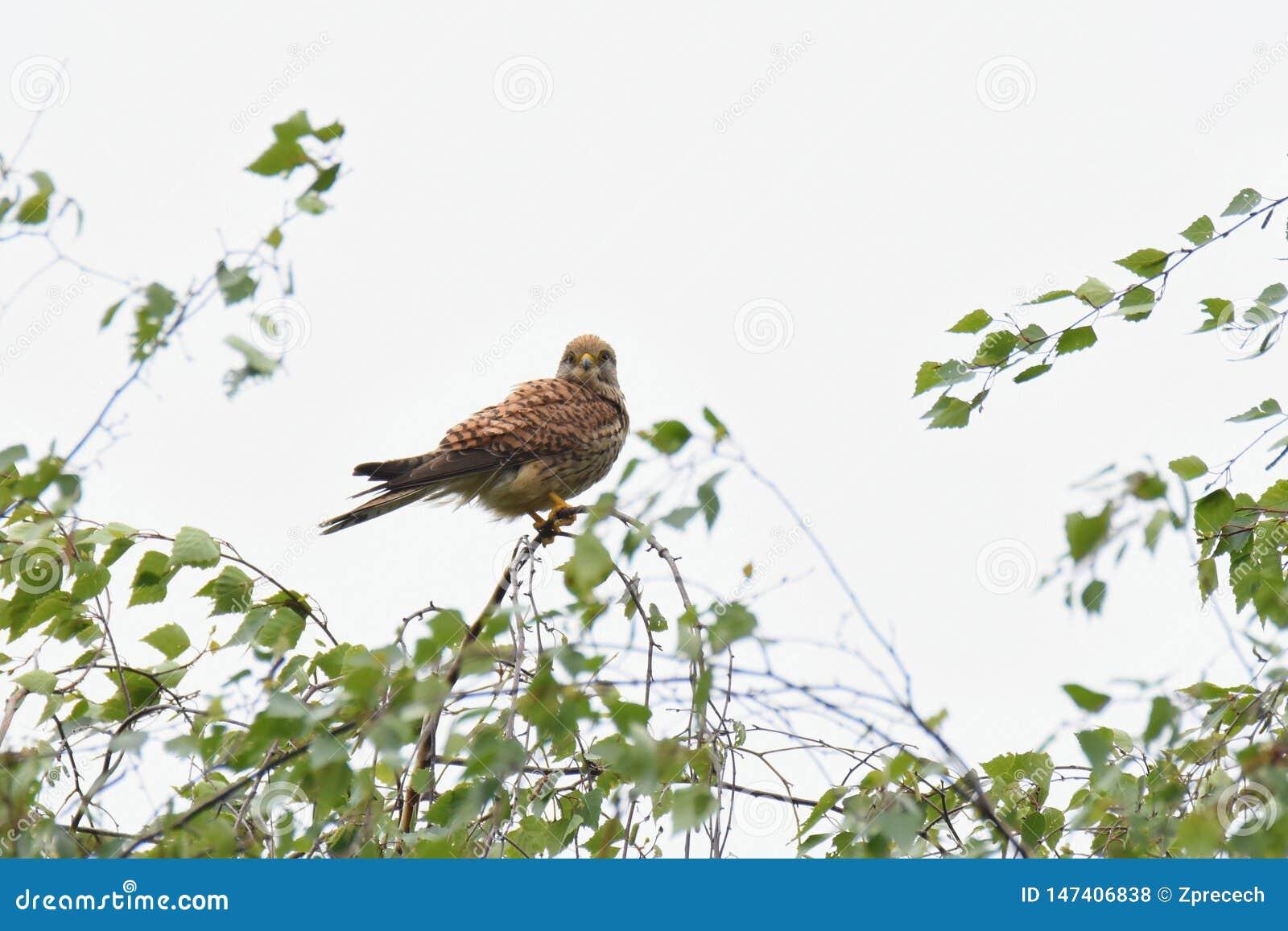 Allgemeines Turmfalke Falco-tinnunculus - erwachsenes Vogelweibchen