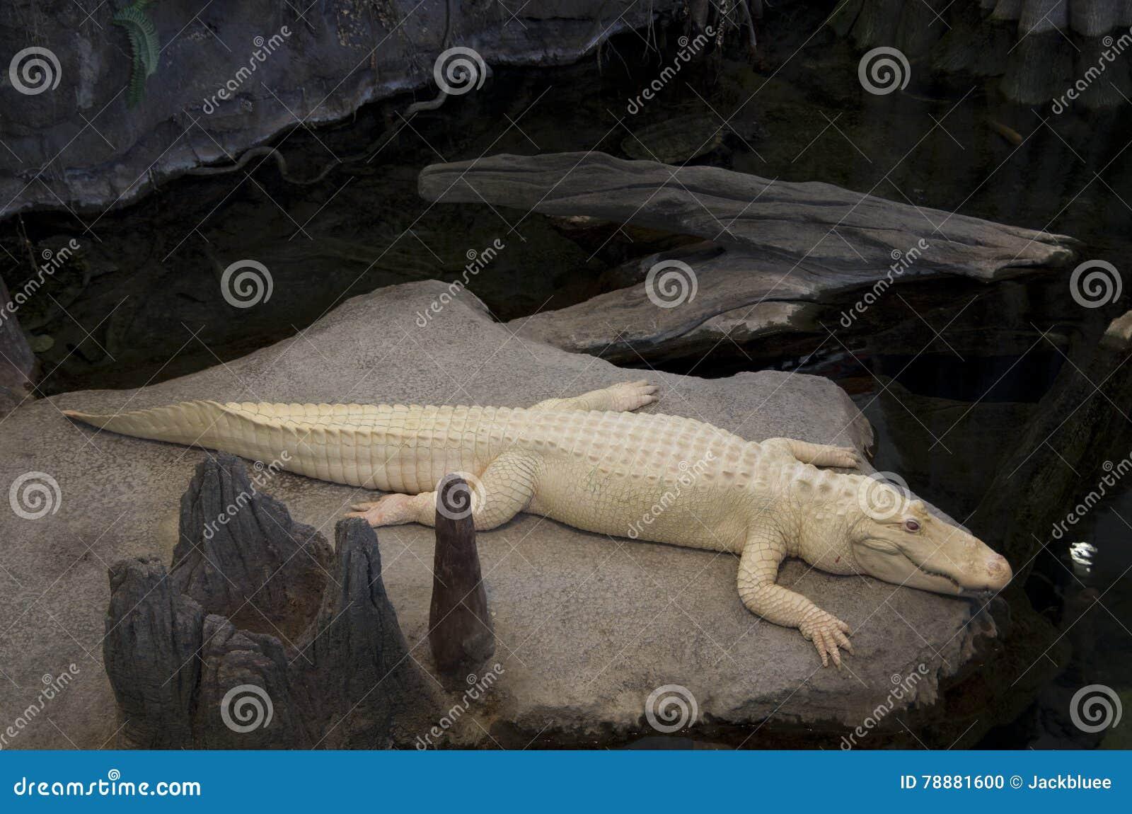 Alligator California Academy of Sciences