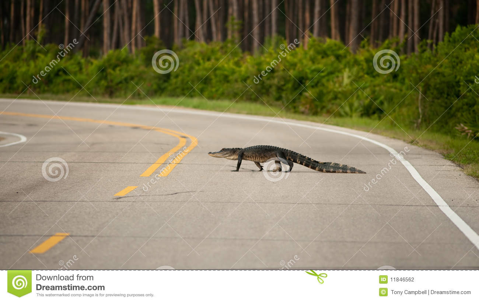 Alligator crossing the road