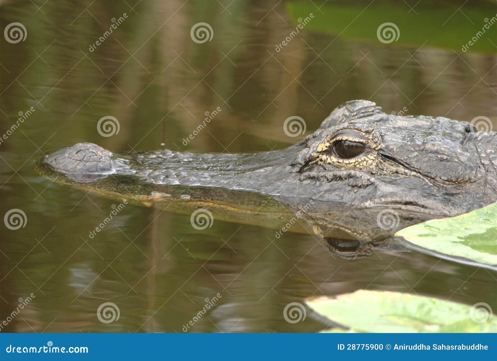 Alligator dans sauvage
