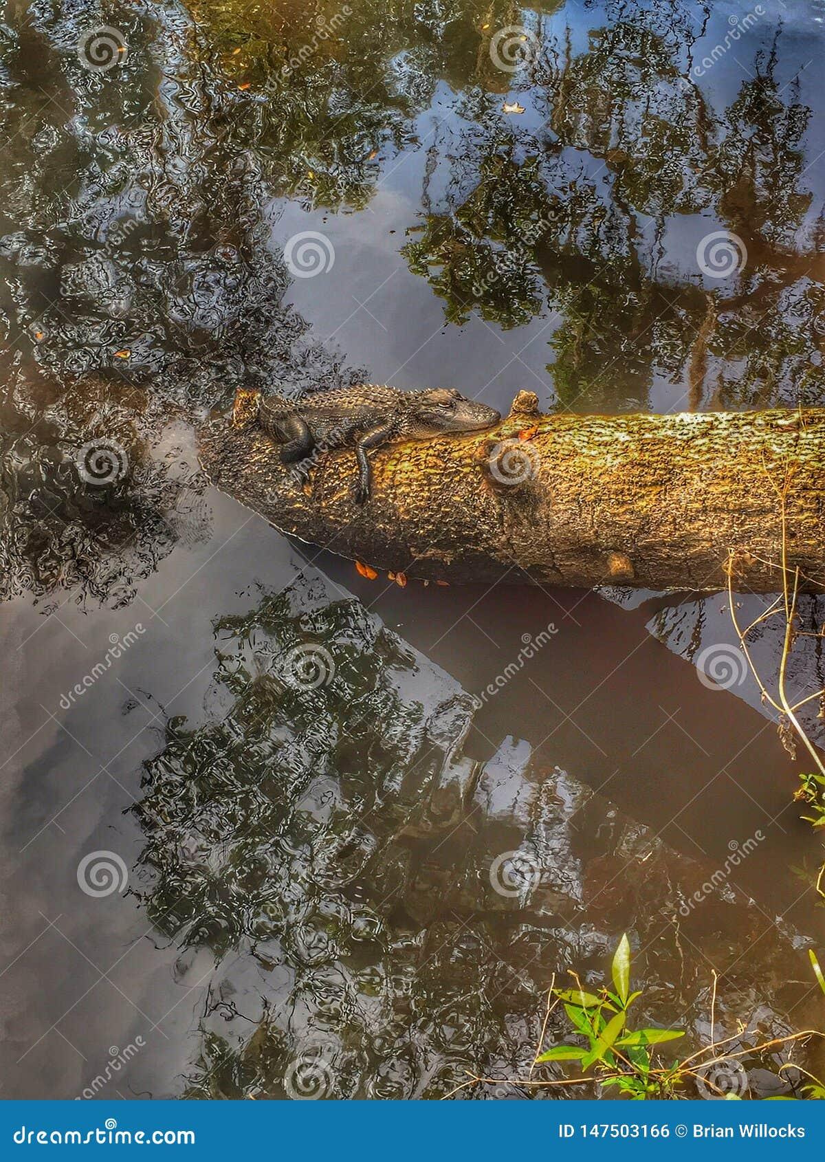 Alligator de d?tente