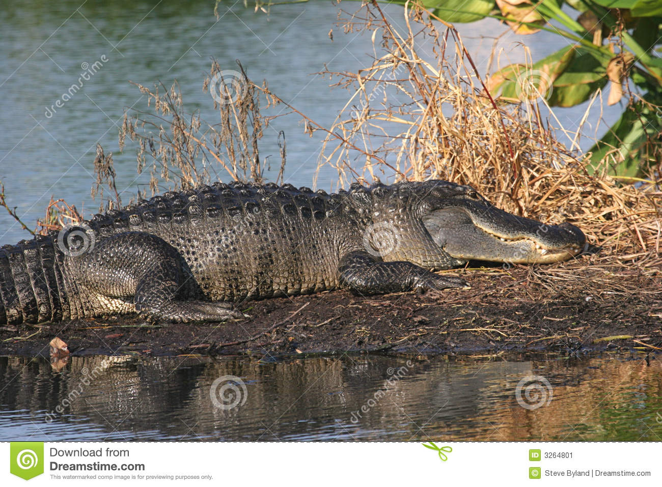 Alligator Florida Everglades Stock Image - Image: 3264801