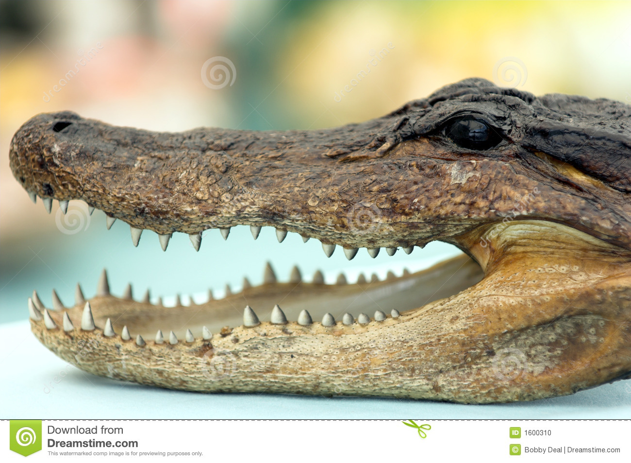 Close up detail of a mounted alligator head.