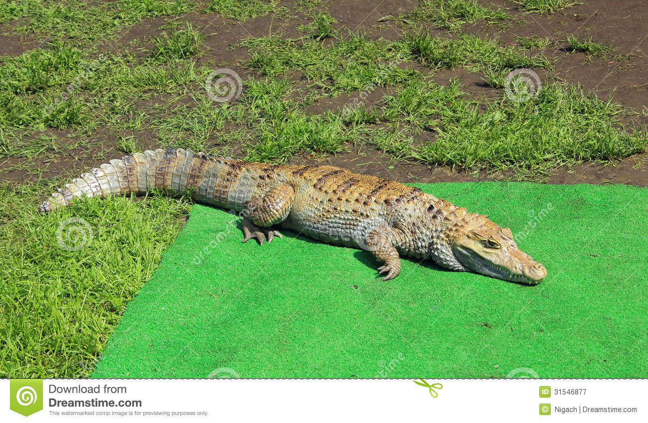 https://thumbs.dreamstime.com/z/alligator-lying-green-carpet-31546877.jpg