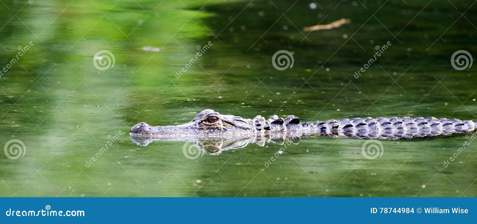 Alligator Magnolia Springs State Park