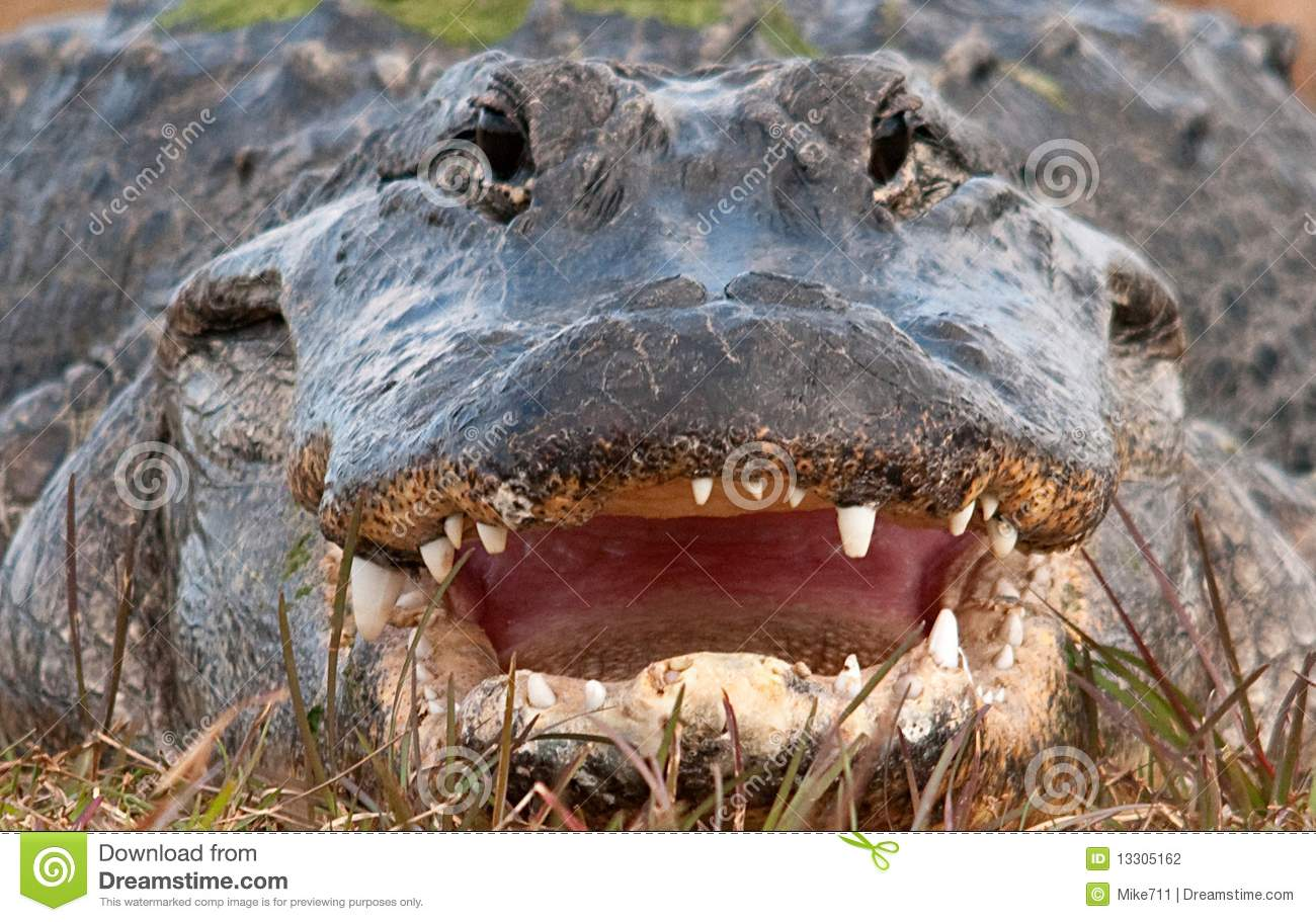 Alligators Mouth 36