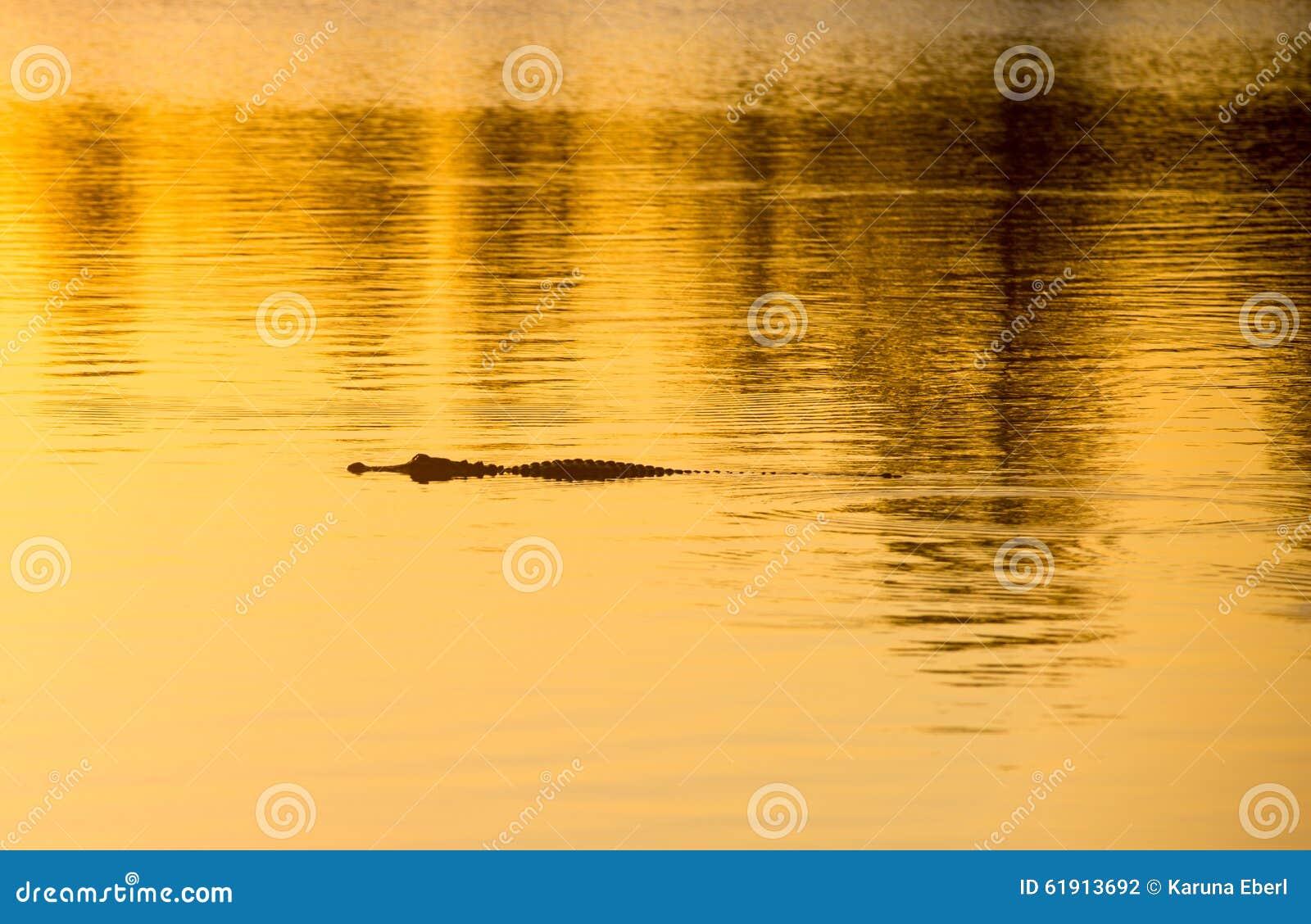 Alligator på solnedgången
