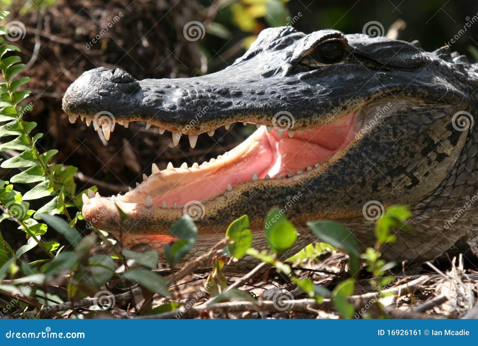 Alligator With ...