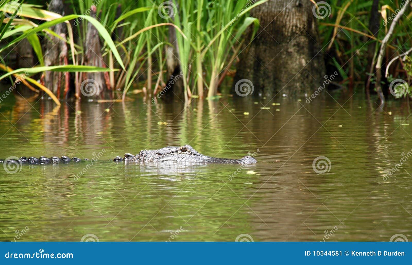 alligator in swamp stock image