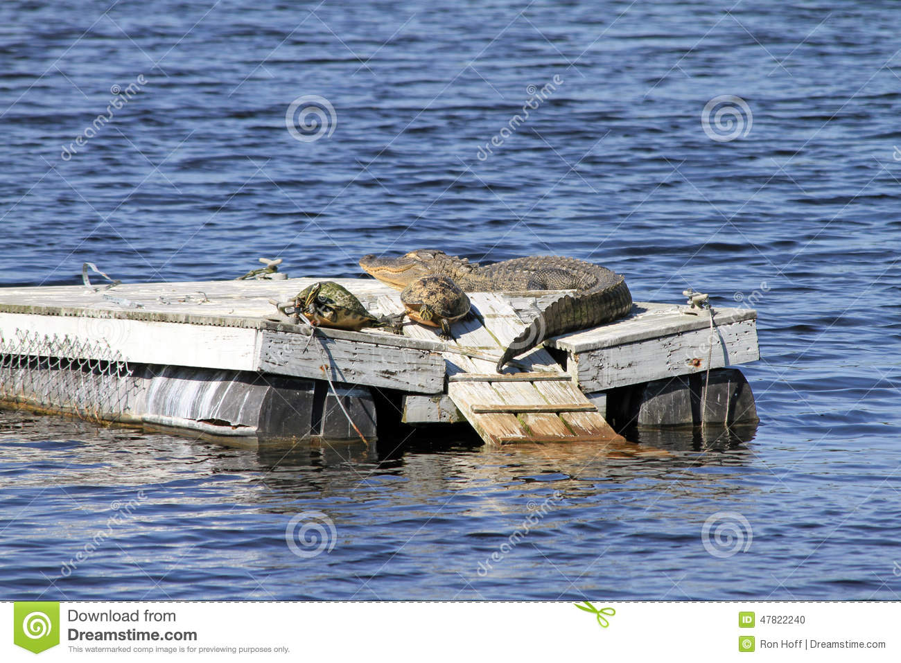 An Alligator and Two Turtles on a Raft