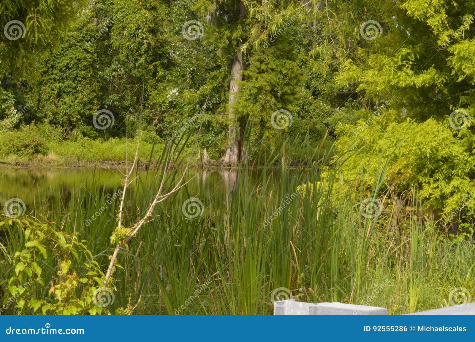 Alligatore nei rami paludosi di fiume della Luisiana
