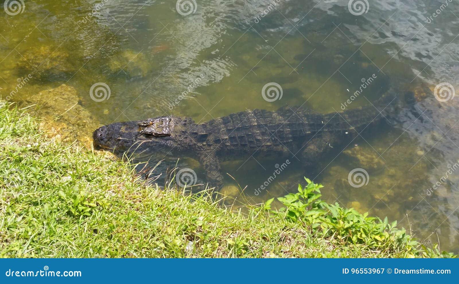 Alligatorn i Everglades parkerar