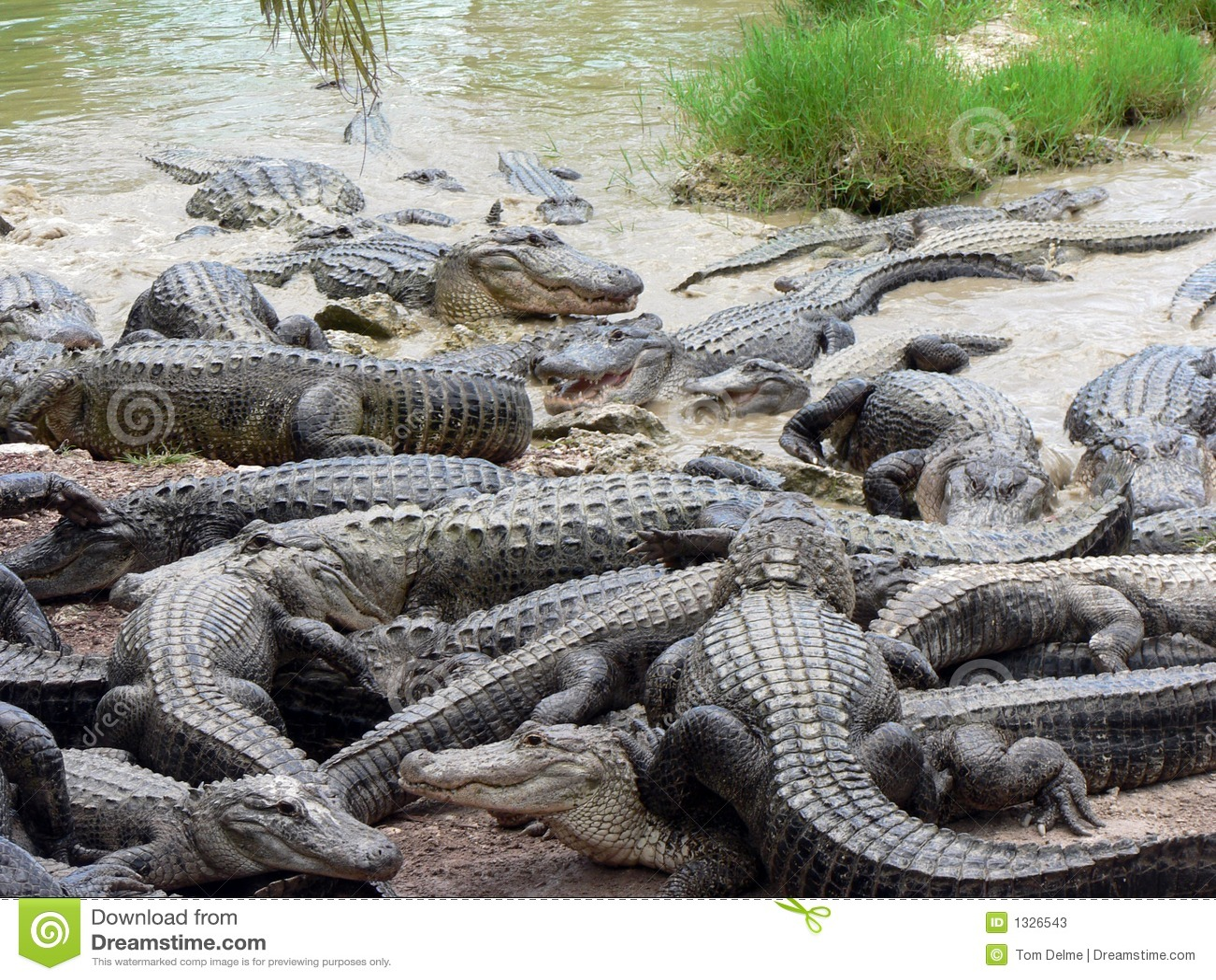 Habitat on web habitat technology group - Alligators Stock Photos Image 1326543