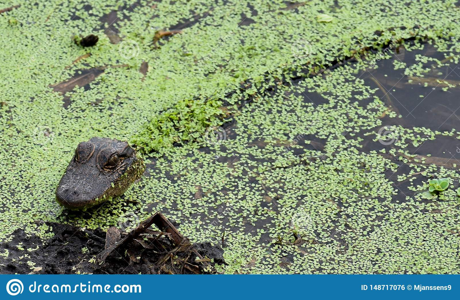 Alligators and Baby Alligators Under the Cover of Leaves in Florida`s Waters