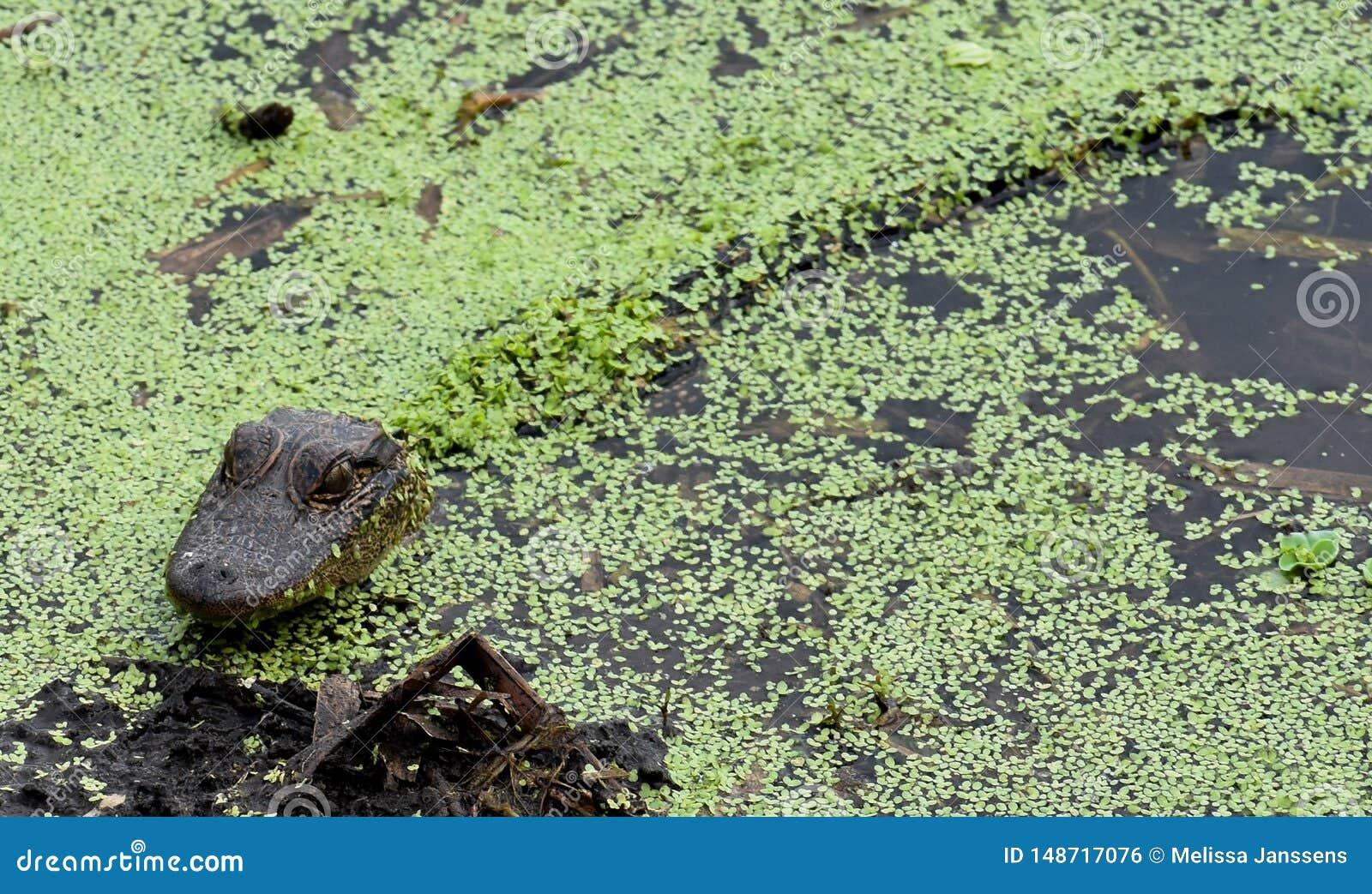 Alligators en Babyalligators onder de Dekking van Bladeren in de Wateren van Florida