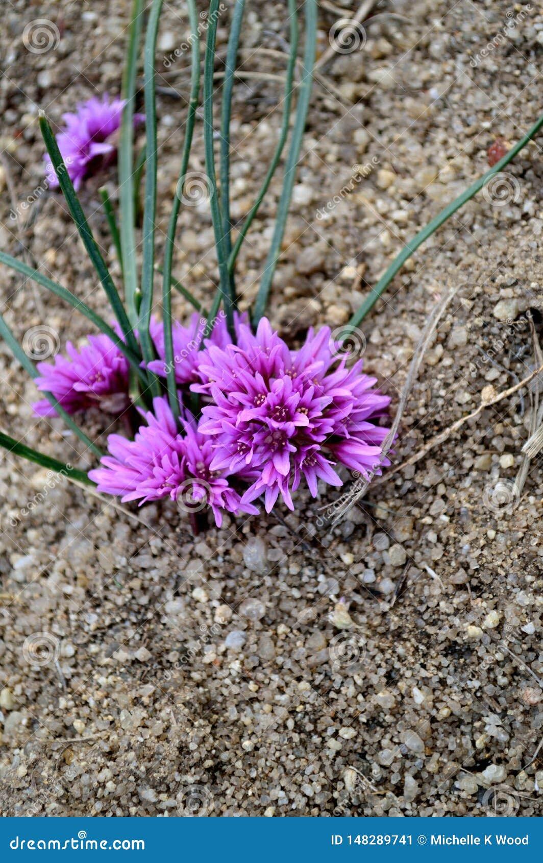 Allium Aaseae rare endangered species native to Idaho