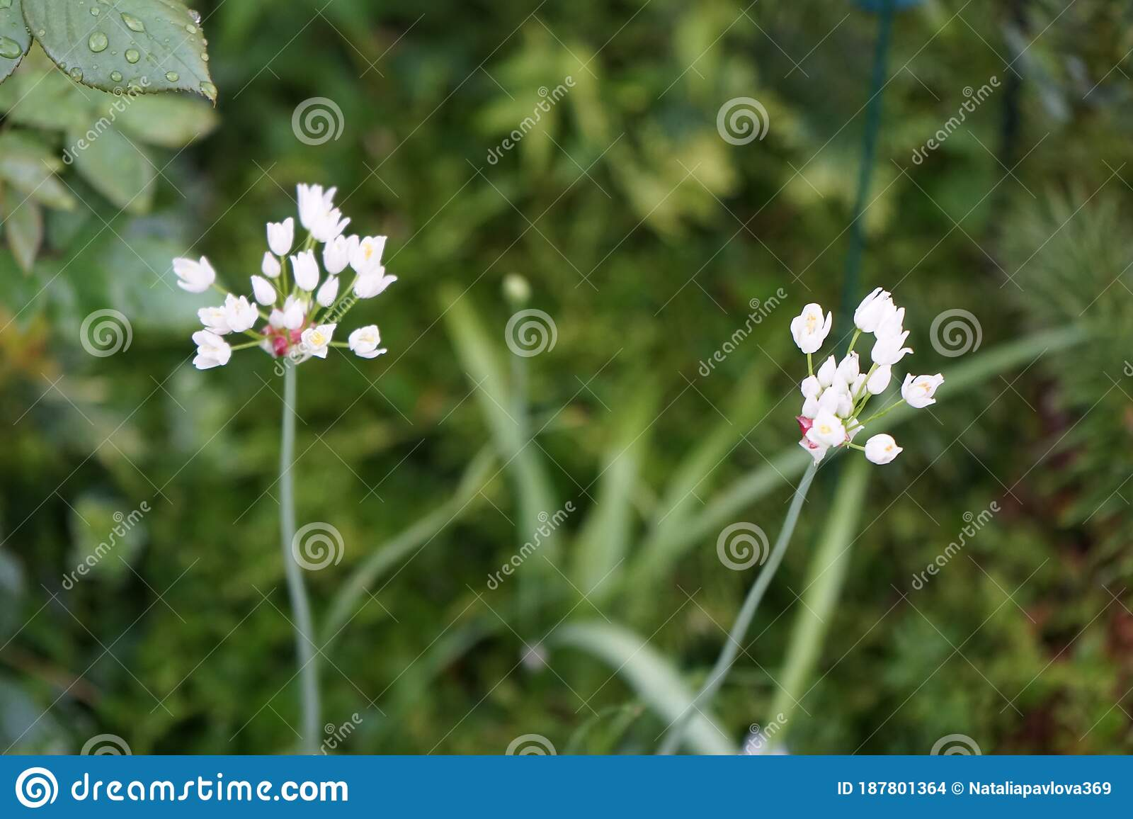 Allium Cernuum Known As Nodding Onion Or Lady S Leek Is A Perennial Plant In The Genus Allium Germany Stock Photo Image Of Genus Meadow 187801364