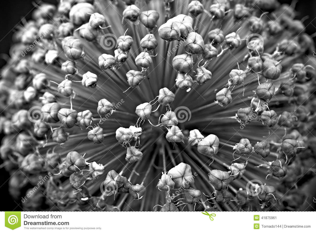 The meaning of allium flower is unity black and white photography this photography belongs to the triptych allium flower and can be