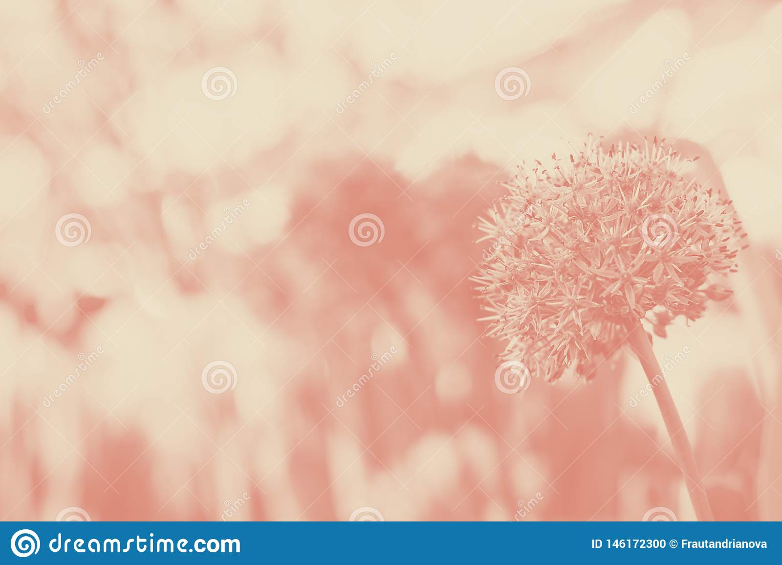 Allium gigante Giganteum que floresce, foco seletivo da cebola, coral, duotone