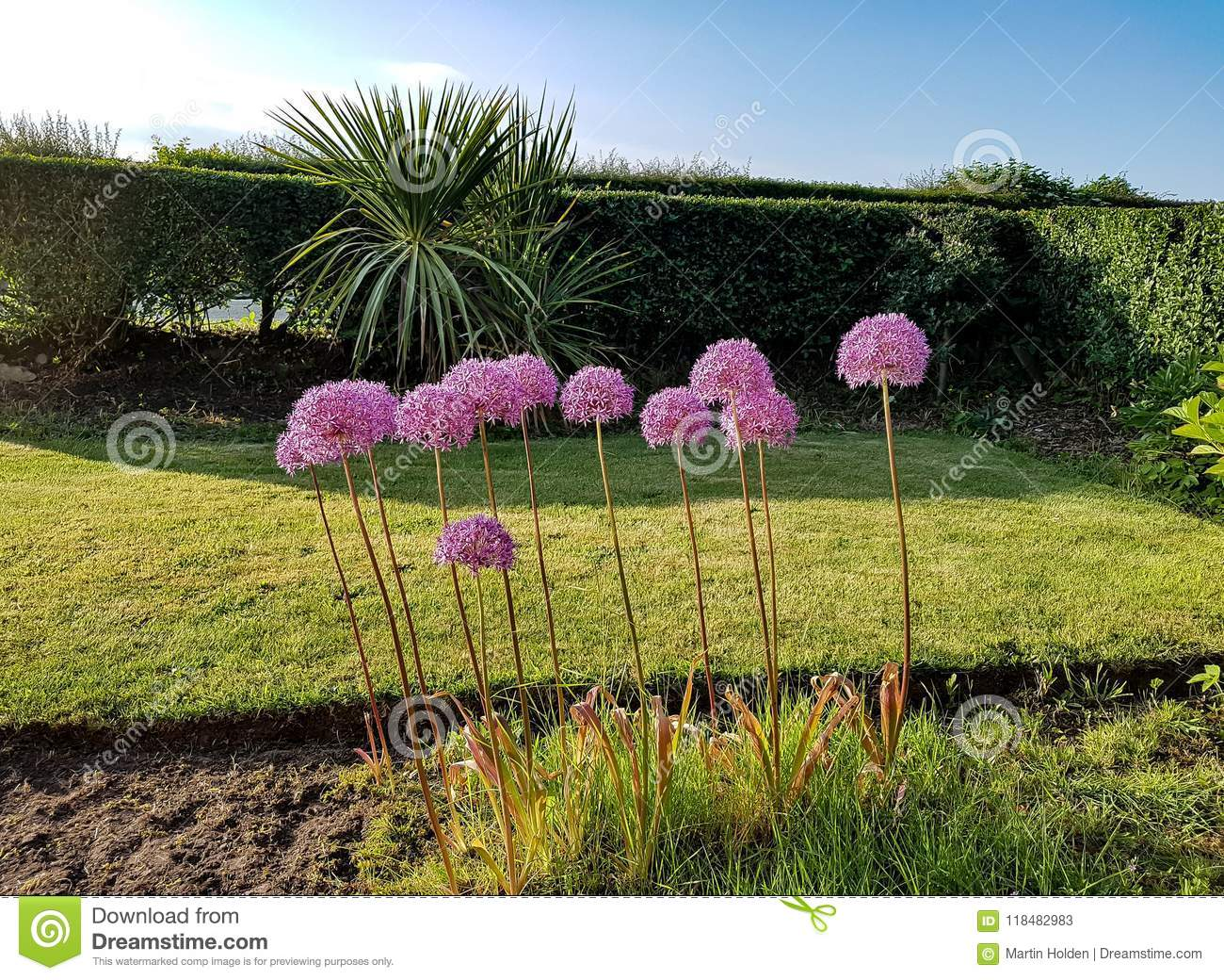Allium Gladiator Stock Image Image Of Summer Petals 118482983