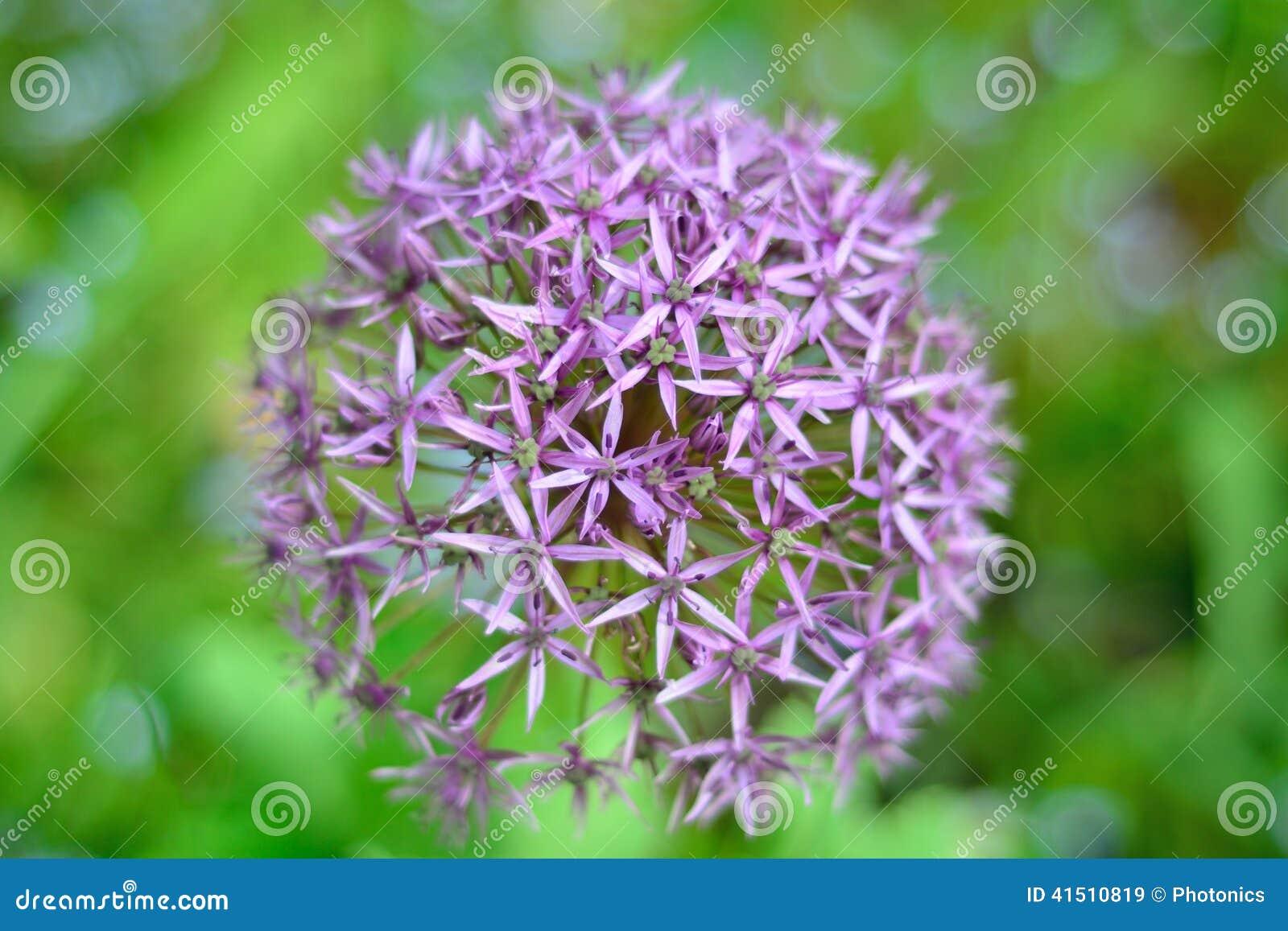Allium kwiat