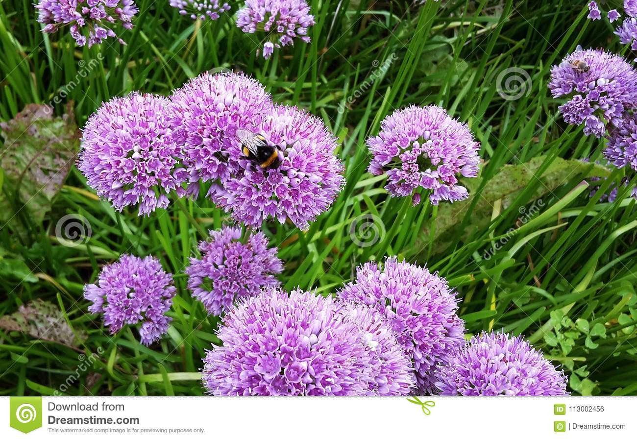 Beautiful Allium Millenium Flowers In The Garden Stock Photo - Image ...