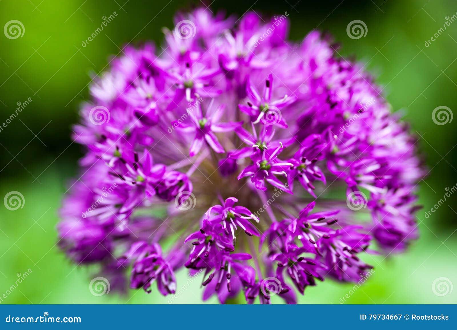 Allium ornamental floreciente de la cebolla