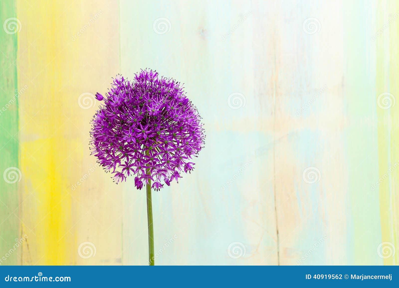 Allium Ornamental Onion Violet Showy Flower Head Stock Photo Image