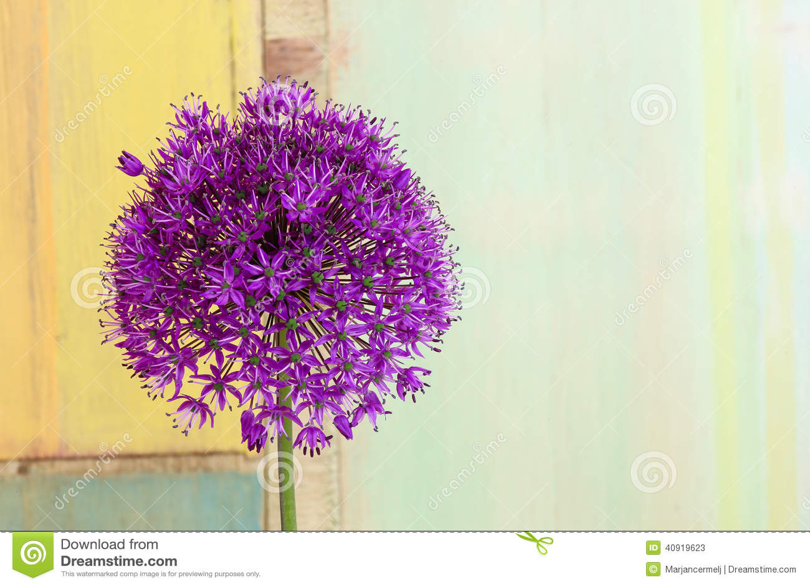 Allium Sierui Violet Showy Flower Head