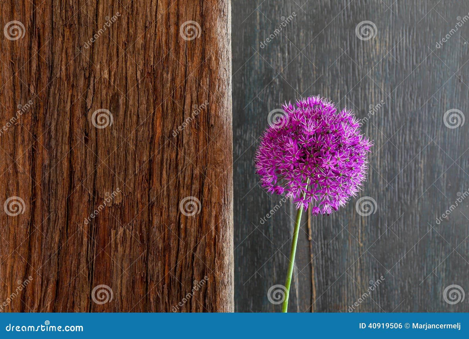 Allium Sierui Violet Showy Flower Head Driftwood