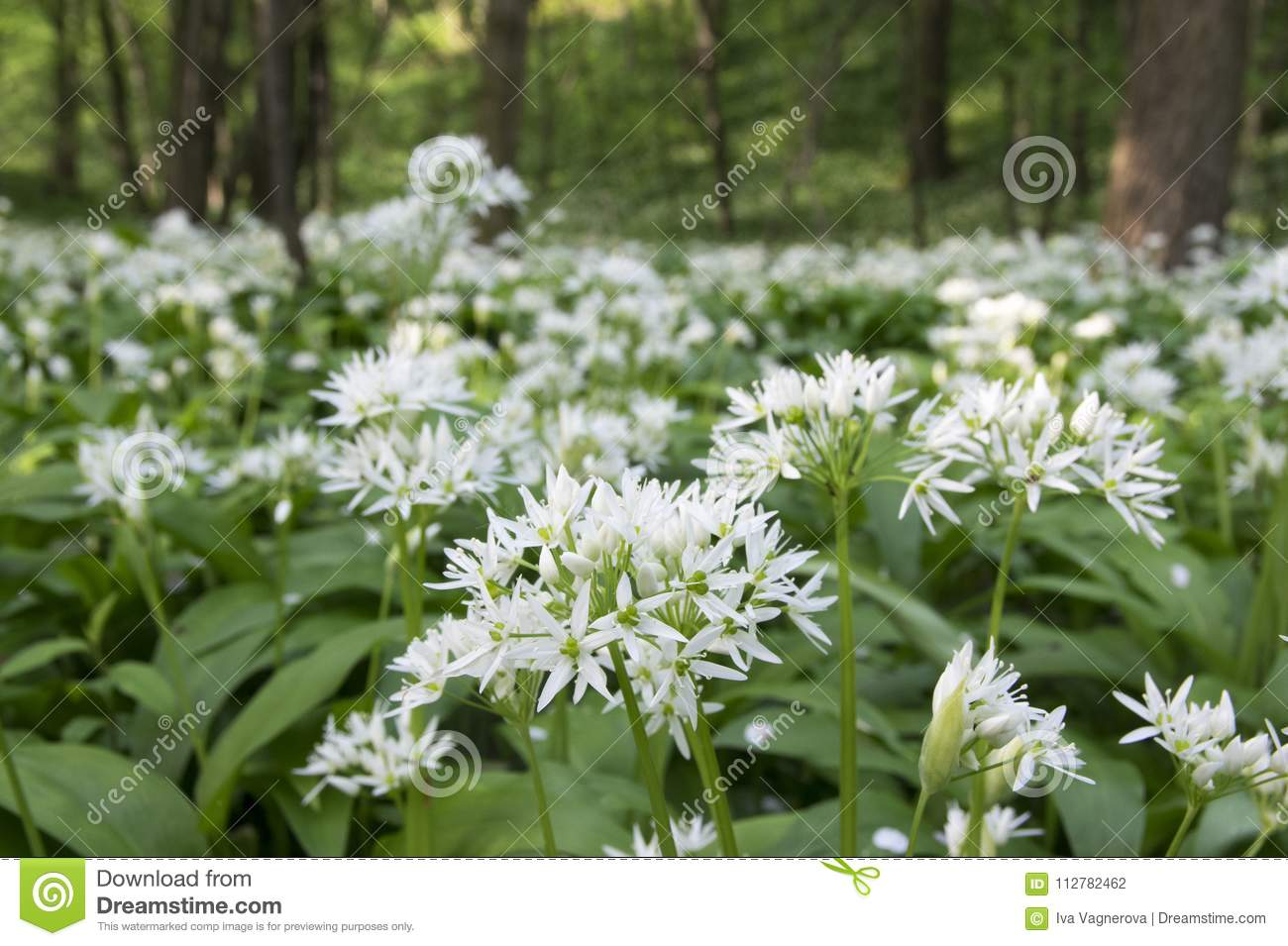Allium ursinum bears garlic in bloom sunlight stock photo image allium ursinum bears garlic in bloom sunlight edible plant growing in forest blossom with white flowers in green foliage mightylinksfo