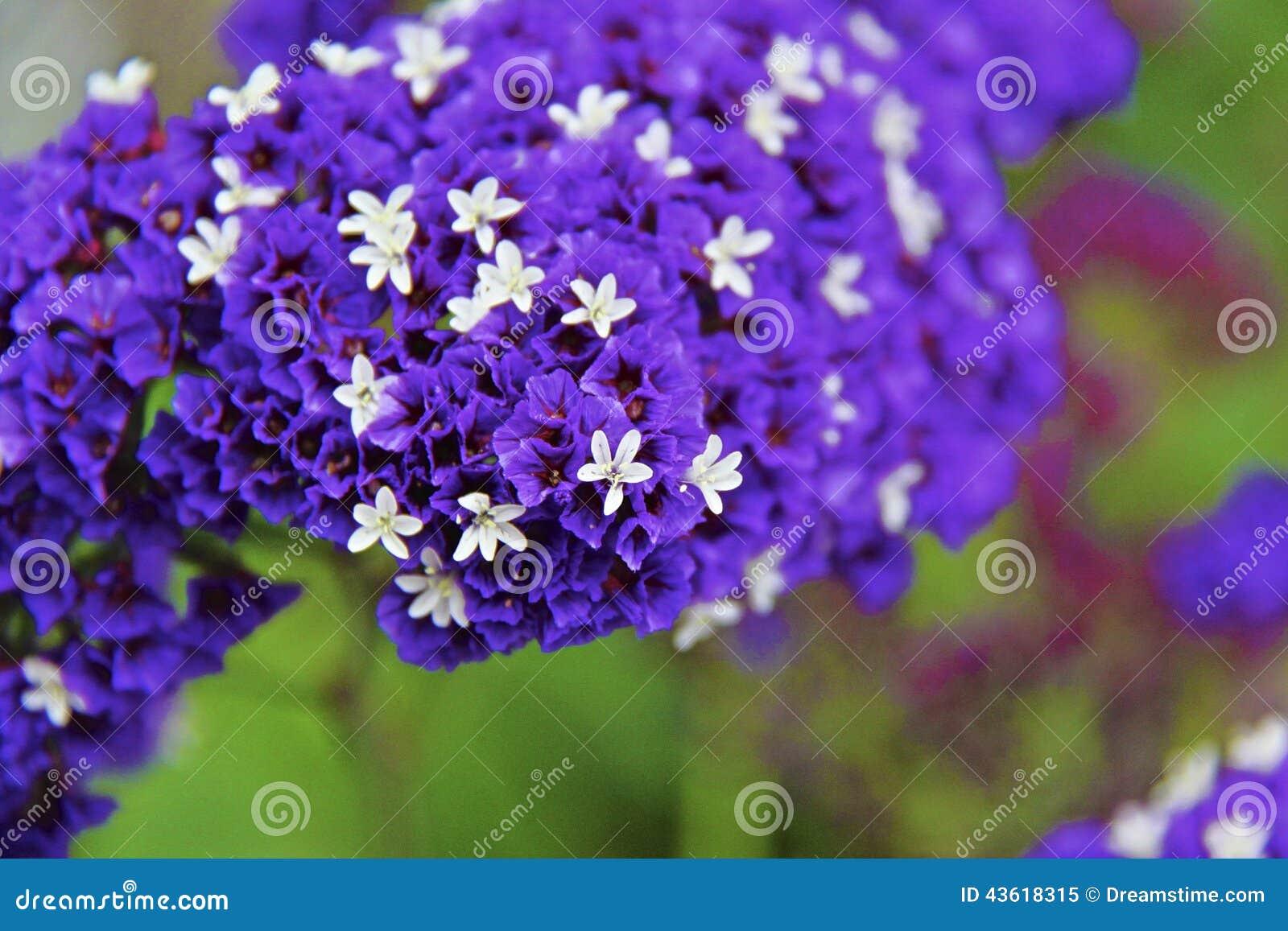 Alliumunifolium