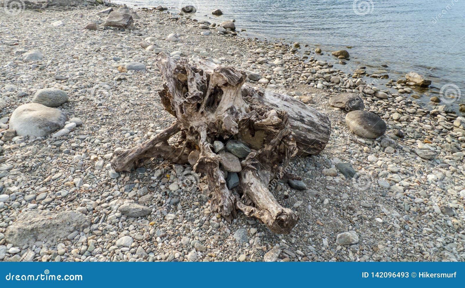 Alluvial, épave et jet à la mer, tronc, bois avec des trous passés sur la plage Gravedona, lac Como