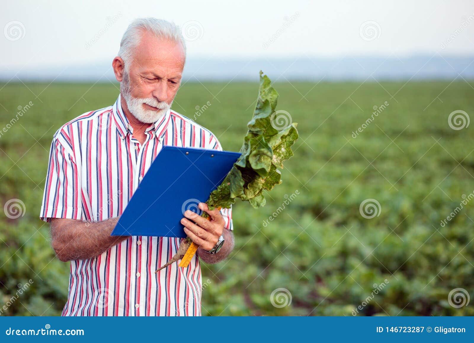 Allvarlig grå haired agronom eller bonde som undersöker den unga sockerbetaväxten som ut fyller ett frågeformulär