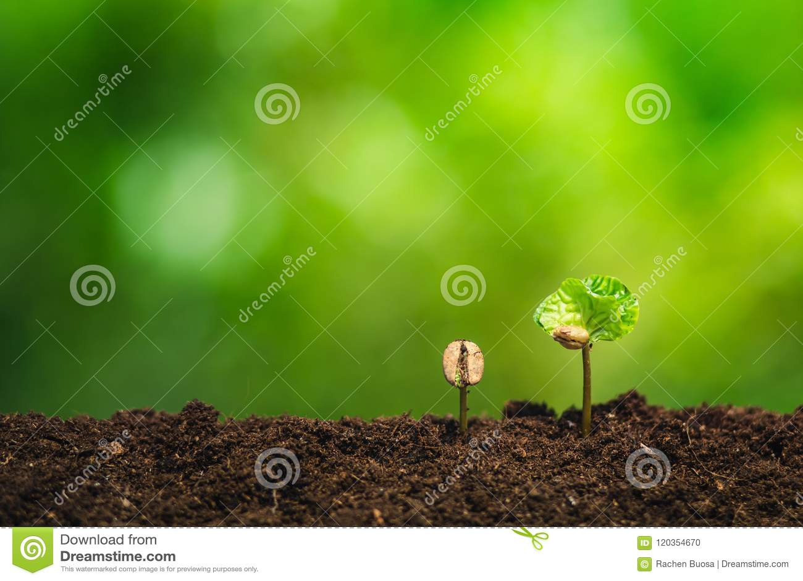 Almácigo del café en planta de la naturaleza un concepto del árbol, mano joven