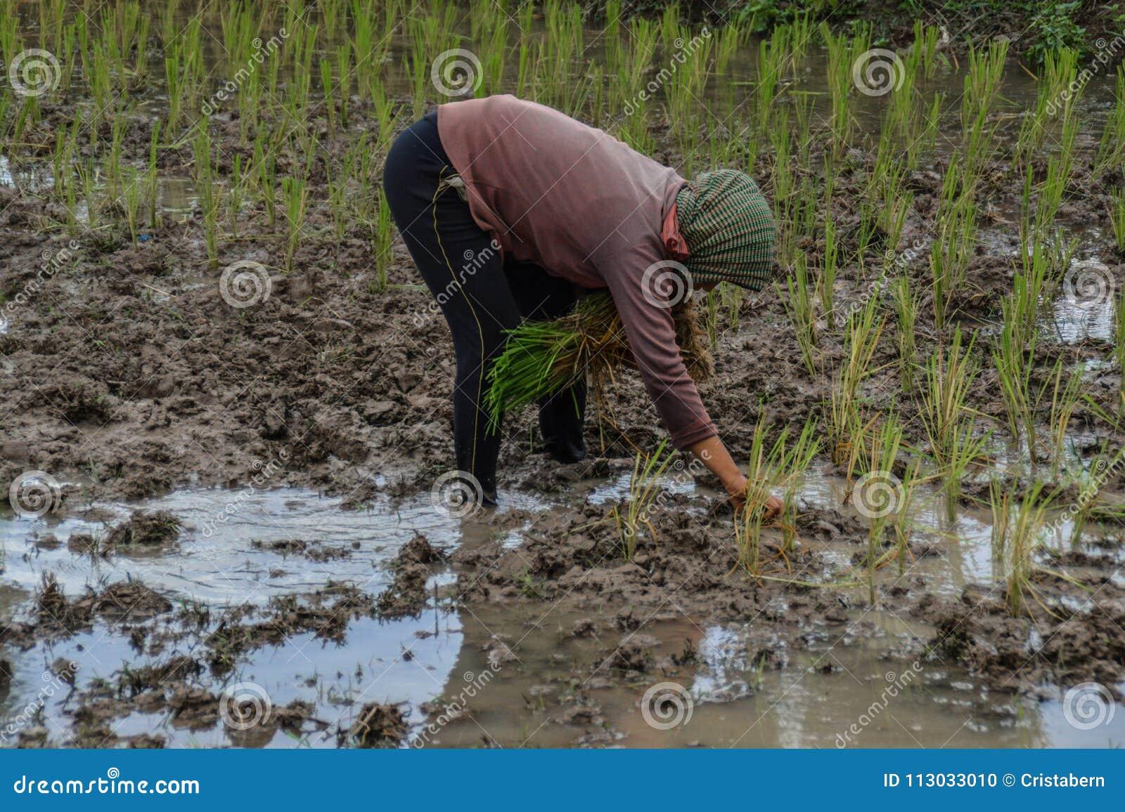 Almácigos en el campo del arroz