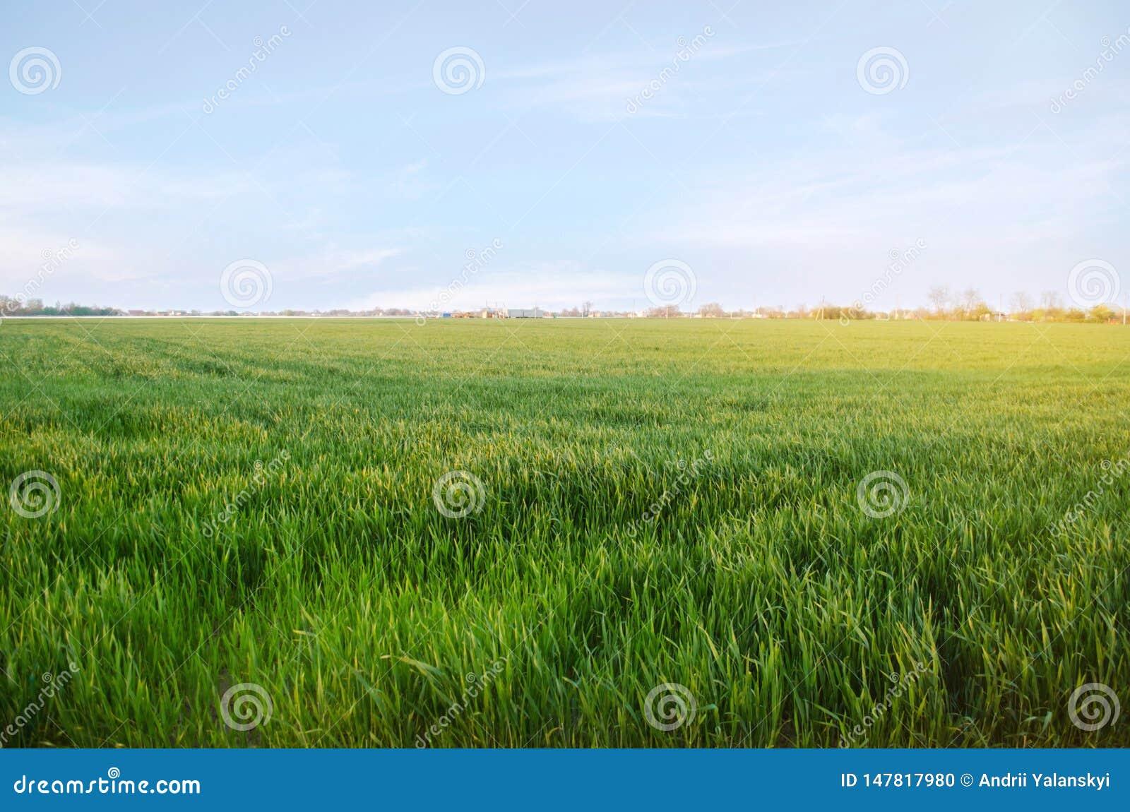Almácigos verdes jovenes del trigo que crecen en un campo Agricultura farming Cultivo del trigo y de las cosechas de grano Foco s
