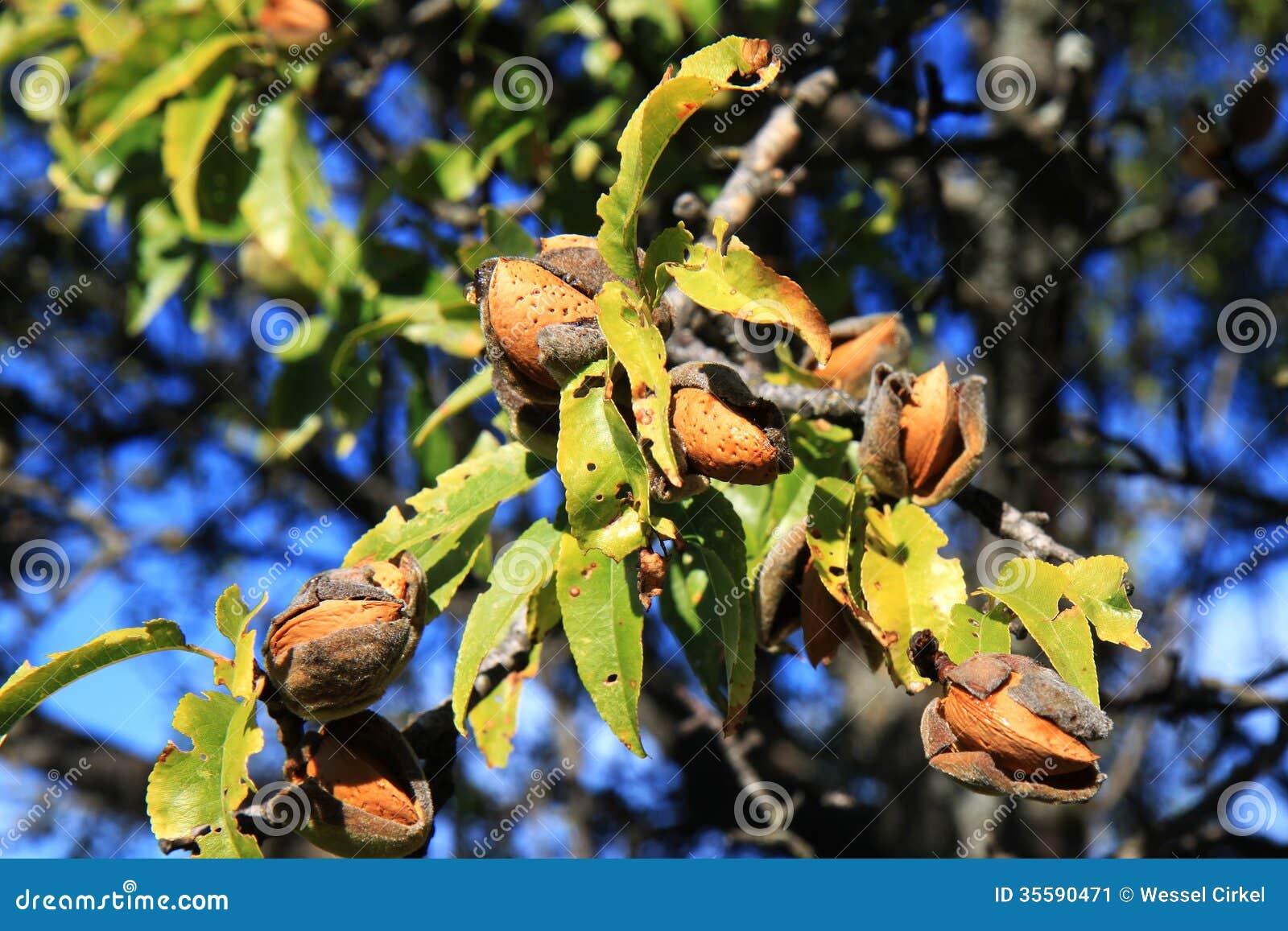 Almendras en el árbol, Abruzos, Italia