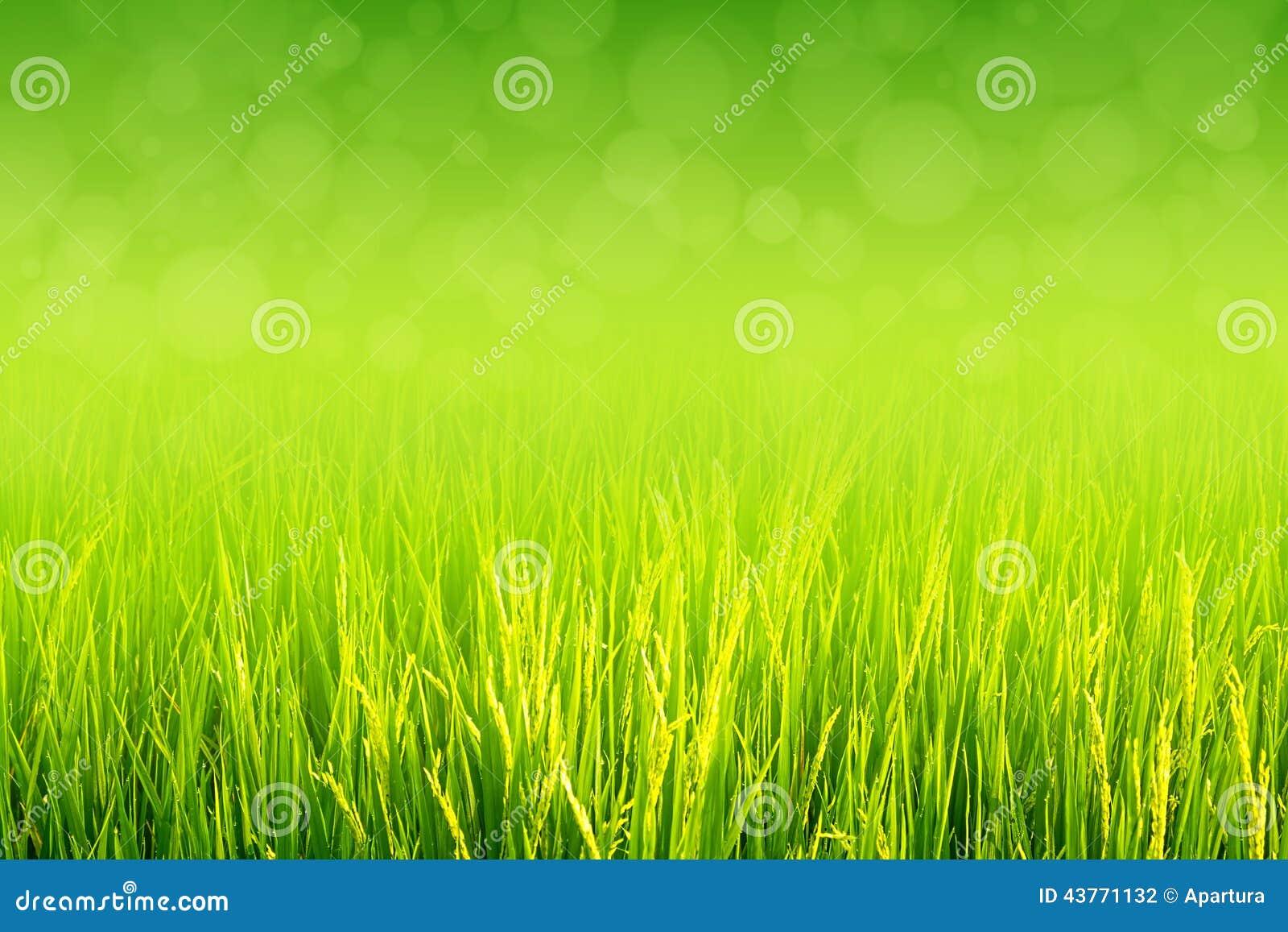Almofada verde luxúria no campo do arroz