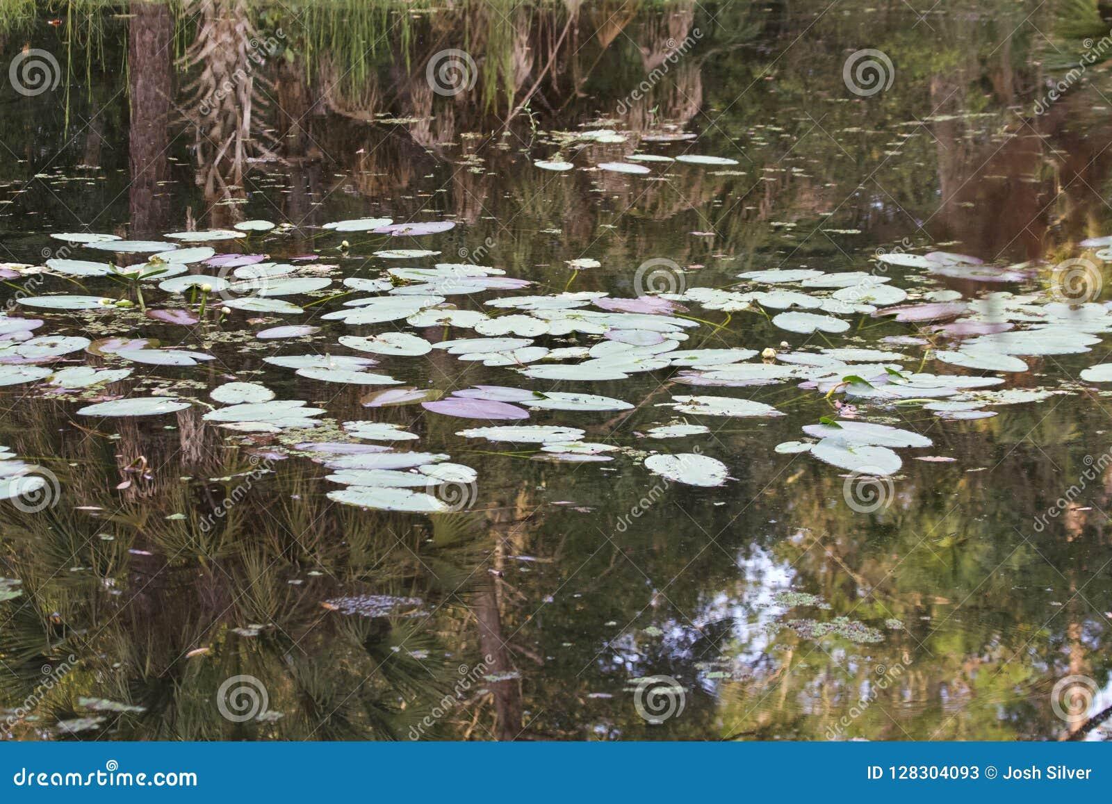 Almofadas de lírio em uma lagoa